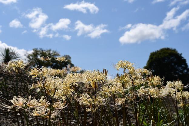 白花彼岸花の丘