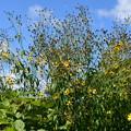 Photos: 秋空に咲く
