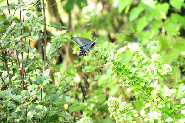 台湾突羽根空木に止まるミヤマカラスアゲハ