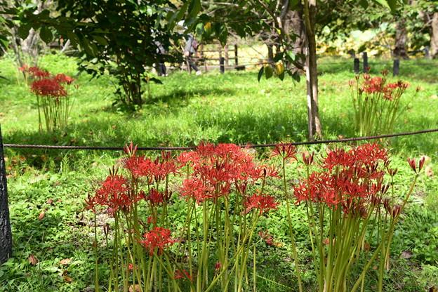 桜園の彼岸花