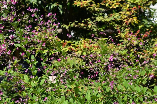 萩と梅擬の実