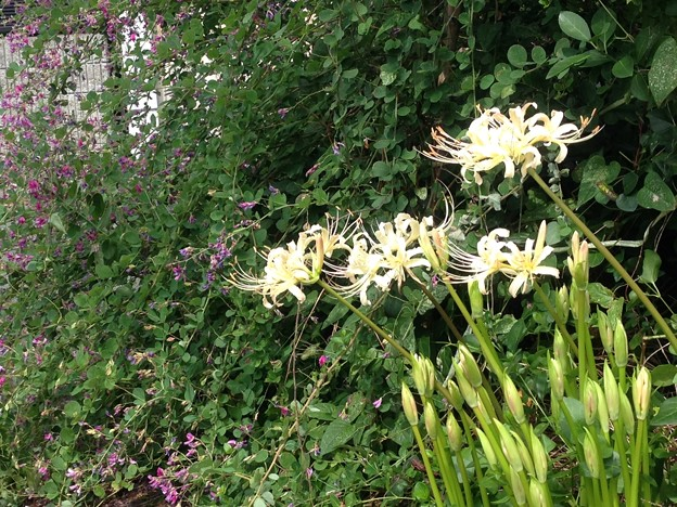萩と白花彼岸花