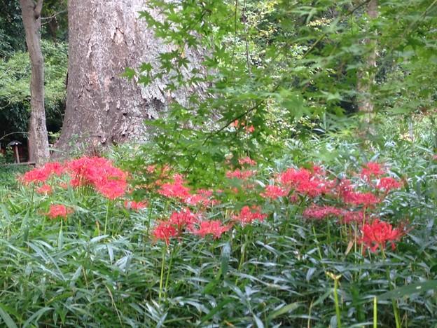 糺の森の彼岸花