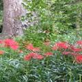 Photos: 糺の森の彼岸花