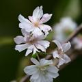 Photos: 十月桜(ジュウガツザクラ)
