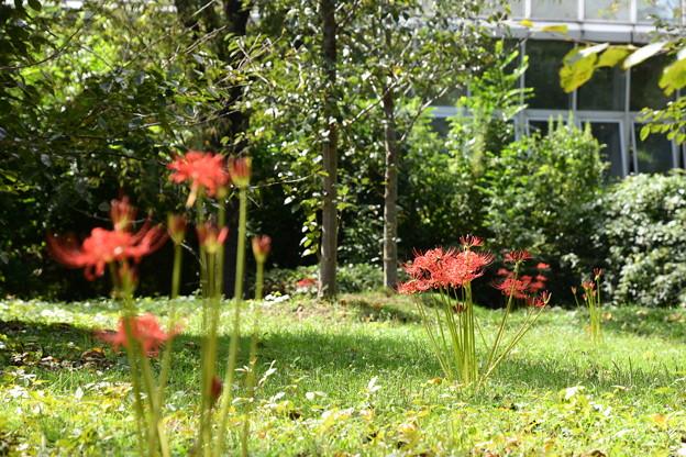 温室前の彼岸花