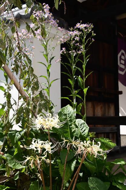 白花彼岸花と紫苑咲く極楽寺