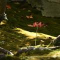 栄摂院の彼岸花(ヒガンバナ)