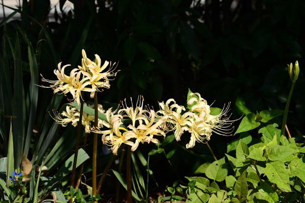賀茂川の白花彼岸花(シロバナヒガンバナ)