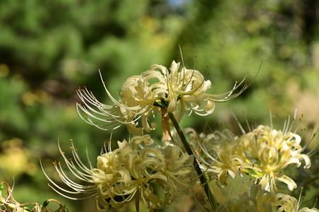 池脇の白花彼岸花(シロバナヒガンバナ)
