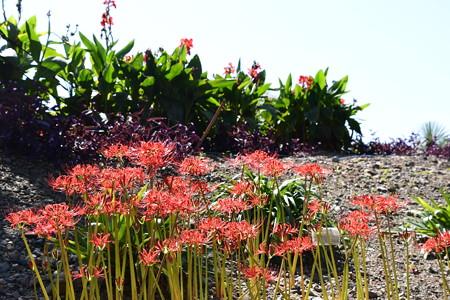 彩りの丘の彼岸花(ヒガンバナ)