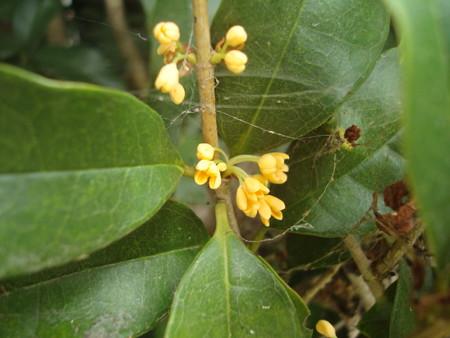 咲き始めた金木犀(キンモクセイ)