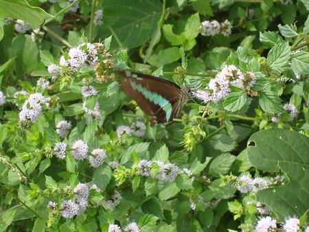 段菊に止まるアオスジアゲハ