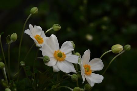 我が家の秋明菊