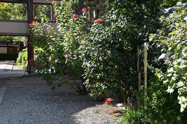 芙蓉と彼岸花咲く妙蓮寺
