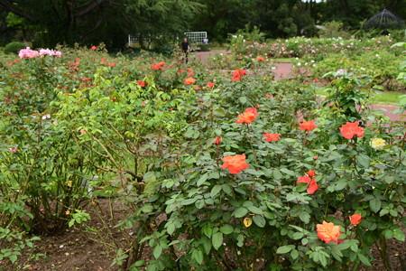 10月の薔薇園