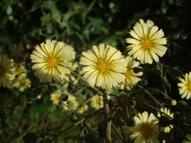 秋の野罌粟(アキノノゲシ)