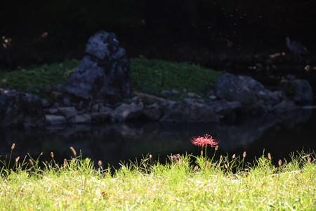 閑院宮邸跡の彼岸花(ヒガンバナ)