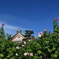 Photos: 秋空に咲く芙蓉(フヨウ)