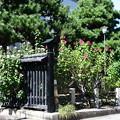 Photos: 妙蓮寺の芙蓉(フヨウ)