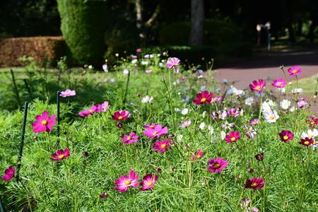 植物会館前の秋桜