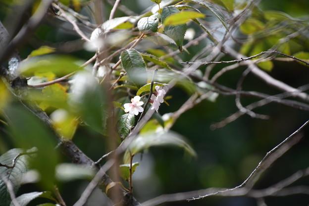 咲き始めた御会式桜(オエシキザクラ)