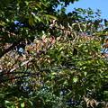 Photos: 桜の色づき