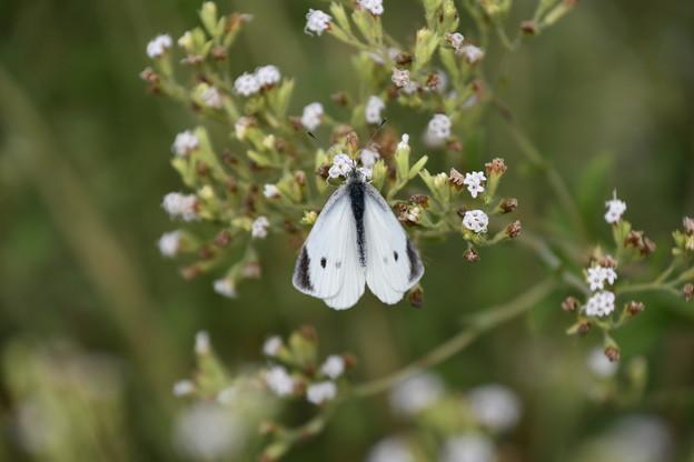 アマハステビアに止まる紋白蝶(モンシロチョウ)