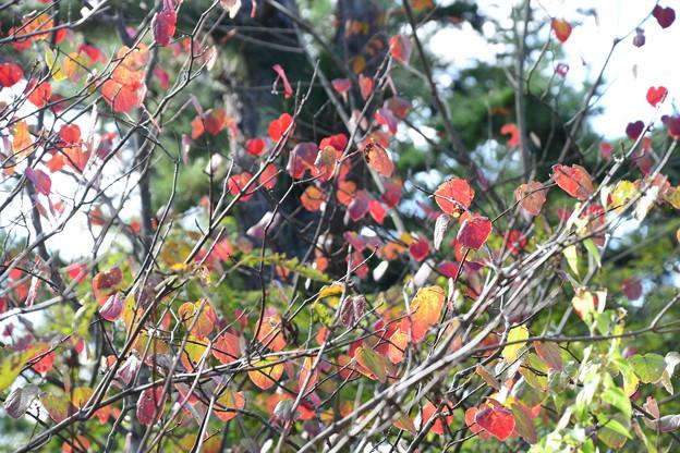 Photos: 丸葉の木(マルバノキ)