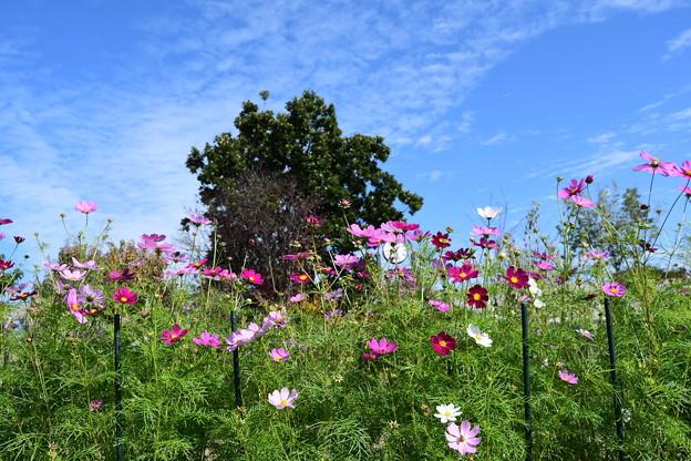 Photos: 北山門脇の秋桜