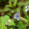 Photos: 桜蓼に止まるツバメシジミ