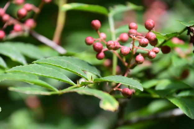 アメリカ山椒(アメリカサンショウ)