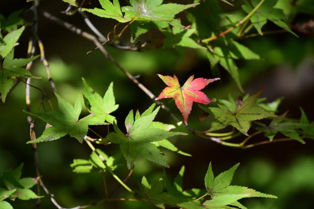 一葉の色づき