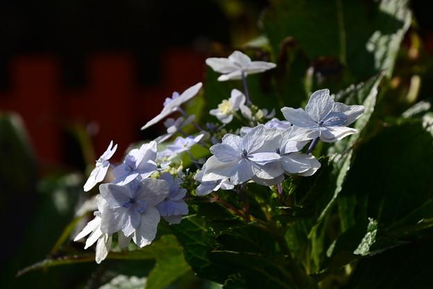 まだ綺麗に咲いている紫陽花(アジサイ)