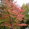 Photos: 駐車場脇の桜もみじ