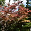 大仙院の桜もみじ