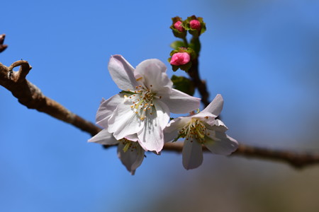 冬桜(フユザクラ)