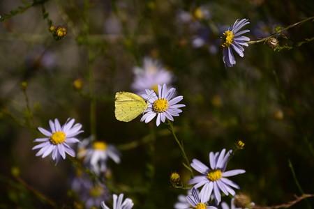 柳野菊に止まる黄蝶(キチョウ)