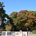 Photos: 色づき始めた欅並木