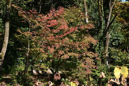 蓮池の紅葉