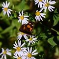 Photos: 冬の蝶