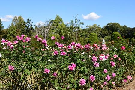 秋の薔薇園