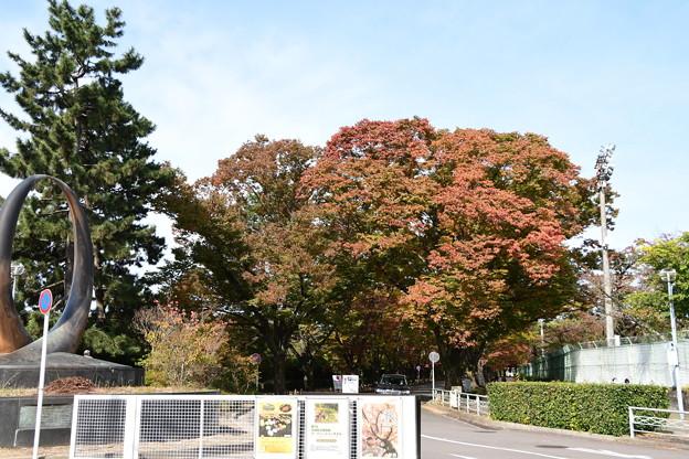 Photos: 色づき進む欅並木