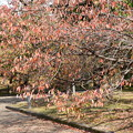 Photos: 山桜の色づき