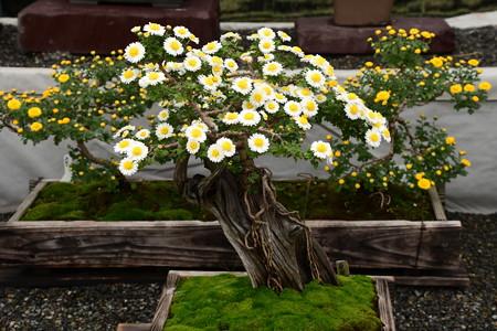 菊花展の菊
