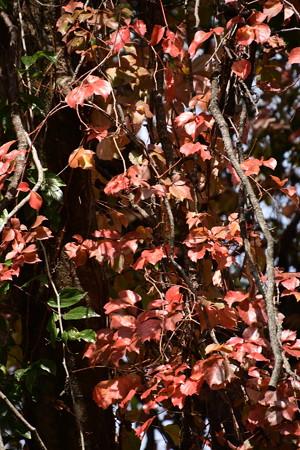 アメリカ蔦の紅葉