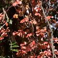 Photos: アメリカ蔦の紅葉
