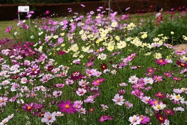 Photos: 色とりどりに咲いて