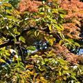 紅葉背景の柿の実