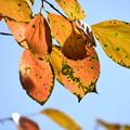 Photos: 柿の葉